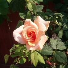 rose a petal