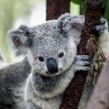 Choco_Koala