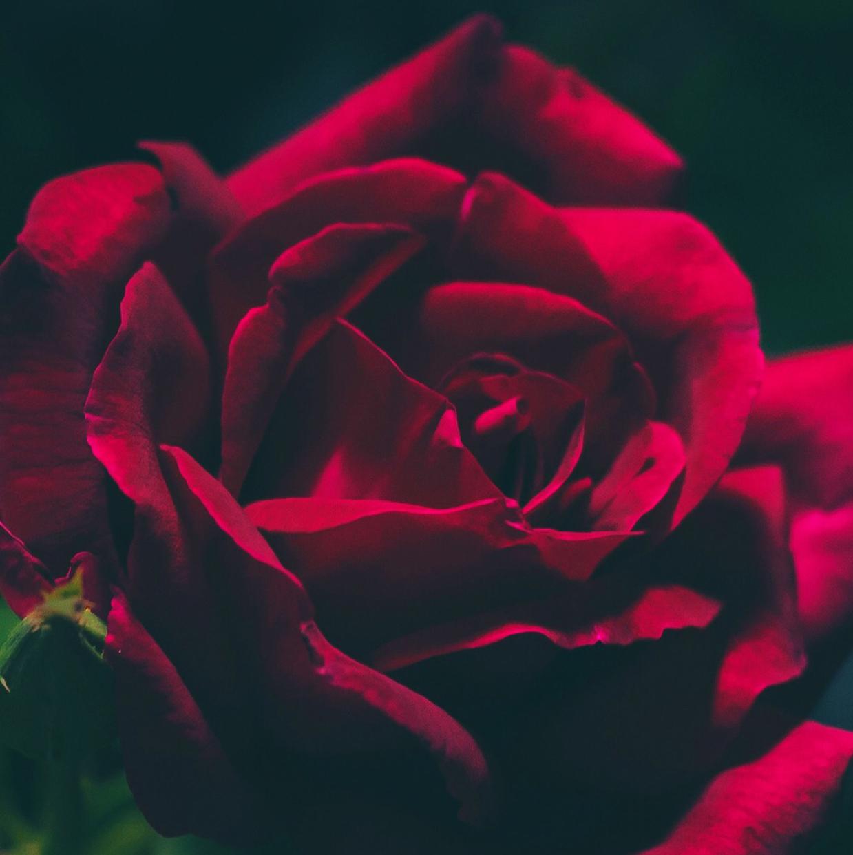 Queen_Rose